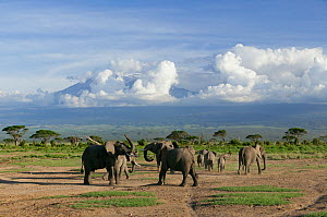 African Elephant (Loxodonta africana), young males fighting and Kilimanjaro on horizon. Amboseli National Park, Kenya. - Denis-Huot