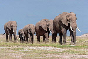 RF- African Elephant (Loxodonta africana) herd walking in line. Amboseli National Park, Kenya. (This image may be licensed either as rights managed or royalty free.) - Denis-Huot