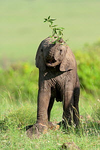 African Elephant (Loxodonta africana) baby playing with a branch. Masai-Mara Game Reserve, Kenya. - Denis-Huot