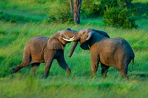RF- African Elephant (Loxodonta africana) males fighting. Masai-Mara Game Reserve, Kenya. (This image may be licensed either as rights managed or royalty free.) - Denis-Huot