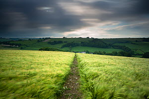 Footpath / track through a field of barley under stormy sky, near Plush, Dorset, UK June 2012 - David Noton