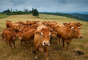 Domestic cattle herd  in Corr�ze, the Limousin, France - David Noton