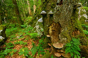 Fir (Abies sp), Beech (Fagus silvatica) and Spruce (Picea abies)  old-growth virgin forest in Special Forest Reserve with bracket fungi growing on bark, Velebit Nature Park, Rewilding Europe area, Vel... - Wild Wonders of Europe / Widstra