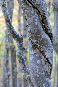 Hornbeam (Carpinus betulus) gnarled trunk and bark, North Velebit National Park, Velebit Nature Park, Rewilding Europe area, Velebit mountains, Croatia - Wild Wonders of Europe / Widstrand