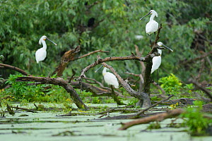 White Spoonbills (Platalea leucorodia) resting on half submerged tree, Danube delta rewilding area, Romania May  -  Wild Wonders of Europe / Widstrand