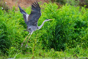 Grey heron (Ardea cinerea) taking off, Danube delta rewilding area, Romania May  -  Wild Wonders of Europe / Widstrand
