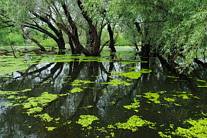 Flooded willow trees, Danube delta rewilding area, Romania, May 2012  -  Wild Wonders of Europe / Widstrand