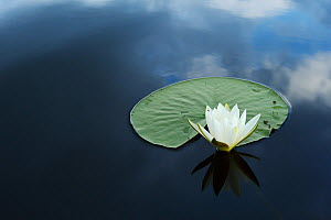 RF- White water lily (Nymphaea alba) on calm water, Danube delta rewilding area, Romania. - Wild  Wonders of Europe / Widstrand
