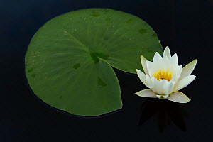 White water lily (Nymphaea alba) Danube delta rewilding area, Romania - Wild Wonders of Europe / Widstrand