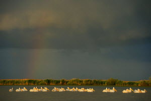 Eastern white pelicans (Pelecanus onocrotalus) flock resting on water as storm threatens overhead, Danube delta rewilding area, Romania, May  -  Wild Wonders of Europe / Widstrand
