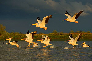 RF- Eastern white pelicans (Pelecanus onocrotalus) taking off from water, Danube delta rewilding area, Romania. May. (This image may be licensed either as rights managed or royalty free.)  -  Wild  Wonders of Europe / Widstrand