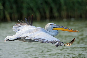 Dalmatian pelican (Pelecanus crispus) profile in flight, Danube delta rewilding area, Romania  -  Wild Wonders of Europe / Widstrand