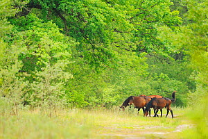 Wild horses from ancient race, Letea forest, Strictly protected nature reserve, Danube delta rewilding area, Romania  -  Wild  Wonders of Europe / Widstrand