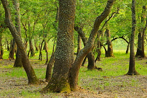 Ash trees (Fraxinus excelsior) in Letea forest, Strictly protected nature reserve, Danube delta rewilding area, Romania  -  Wild Wonders of Europe / Widstrand