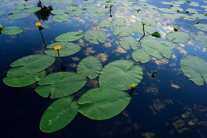 Yellow water lilies (Nuphar lutea) on river surface, Danube delta rewilding area, Romania  -  Wild Wonders of Europe / Widstrand