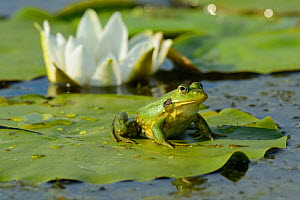 Pool Frog (Rana lessonae) sitting on White lily pad, Danube delta rewilding area, Romania  -  Wild Wonders of Europe / Widstrand