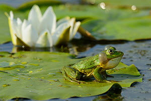 RF- Pool Frog (Rana lessonae) sitting on white lily pad, Danube delta rewilding area, Romania. - Wild  Wonders of Europe / Widstrand