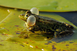 RF- Pool Frog (Rana lessonae) vocalising with vocal sacs inflated, Danube delta rewilding area, Romania. (This image may be licensed either as rights managed or royalty free.)  -  Wild  Wonders of Europe / Widstrand
