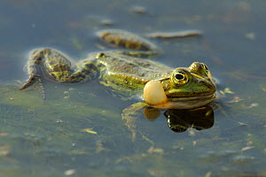 Pool Frog (Rana lessonae) vocalising at surface, Danube delta rewilding area, Romania  -  Wild Wonders of Europe / Widstrand