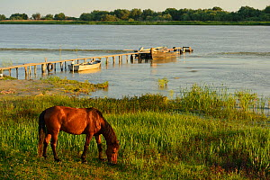Domestic horse, living wild, now feral, grazing by river, Sfinthu Gheorghe, Danube delta rewilding area, Romania  -  Wild Wonders of Europe / Widstrand