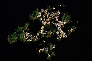 Eastern white pelicans (Pelecanus onocrotalus), aerial view of flock nesting within Danube delta rewilding area, Romania, June 2012  -  Wild Wonders of Europe / Widstrand