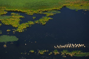 Eastern white pelicans (Pelecanus onocrotalus), aerial view of flock standing in shallow water within the Danube delta rewilding area, Romania, June 2012  -  Wild Wonders of Europe / Widstrand