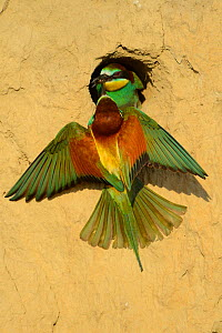 European bee eater (Merops apiaster) pair at nest at breeding site, Danube delta rewilding area, Romania, June - Wild Wonders of Europe / Widstrand
