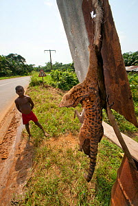 Bushmeat trade on roadside with a young boy stands near his father's forest catch consisting of Blue Duiker (Cephalophus monticola) and Palm Civet (Nandinia binotata). Often purchased by traders for r... - Jabruson