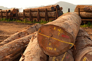 Large-scale hardwood timber extraction with hardwood logs being readied for loading onto railway trucks that will collect timber from lumber yard located inside the Lope National Park. Onward shipment... - Jabruson