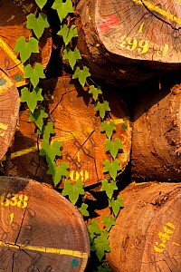 Colour coding, markings and metal stays on hardwood timber tree trunk bases with new (Ipomoea spp) leaf growth over logs. Large-scale hardwood timber extraction in Gabon. 2009 - Jabruson