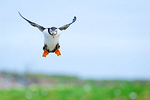 Atlantic puffin (Fratercula arctica) adult coming in to land, Inner Farne islands, Northumberland, June - Andrew Walmsley