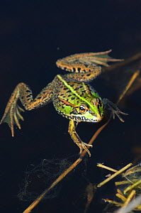 Marsh Frog (Rana ridibunda) in water. Bexington, Dorset, UK, May.  -  Colin Varndell