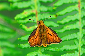 Large skipper butterfly (Ochlodes sylvanus) at rest on bracken. Studland Heath, Dorset, UK, July. - Colin Varndell