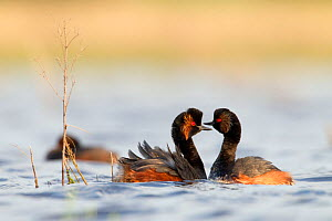 Black necked grebe (Podiceps nigricollis) pair courting in preparation to mate, La Dombes lake area, France, April  -  David Pattyn
