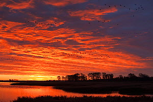 Common Crane (Grus grus) groups flying past at sunrise over a bay close to Zingst, Mecklenburg-Vorpommern, Germany, October - David Pattyn