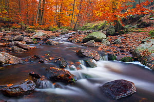 Hoegne river at the edge of the 'Hoge Venen' nature reserve, in Autumn colours, Ardennes, Belgium, November - David Pattyn