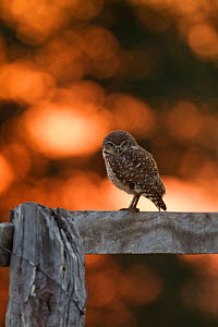 Burrowing Owl (Athene cunicularia) perched on a wooden fence backlit at sunrise, Southern Pantanal, Mato Grosso do Sul State, BrazilAugust  -  David Pattyn