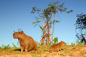 Capybara (Hydrochoerus hydrochaeris) mother and young sitting on a river bank, Pantanal, Brazil.  -  David Pattyn