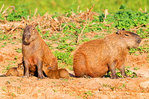 Capybara (Hydrochoerus hydrochaeris) family group with female suckling the young, Pantanal, Brazil.  -  David Pattyn
