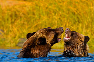 Grizzly Bear (Ursus arctos horribillis) and cub in water, play fighting. Great Bear Rainforest, British Columbia, Canada, September. - Todd  Mintz