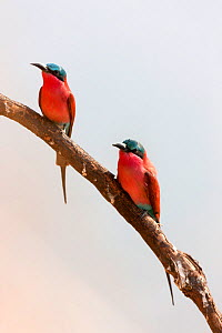 Carmine bee-eaters (Merops nubicus) pair resting on branch, South Luangwa valley, Zambia, September  -  Sue Flood