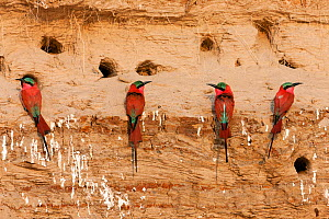 Carmine bee-eaters (Merops nubicus) next to nest holes in river bank in South Luangwa valley, Zambia September  -  Sue Flood
