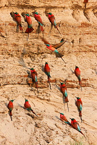 Carmine bee-eaters (Merops nubicus) at nesting site in river bank in South Luangwa valley, Zambia September  -  Sue Flood