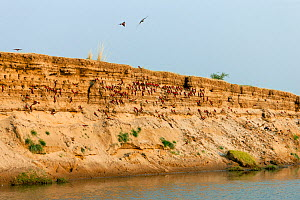 Carmine bee-eaters (Merops nubicus) nesting site  in river bank,  South Luangwa valley, Zambia September  -  Sue Flood