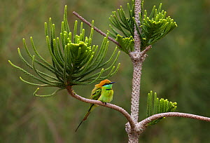 Little Green Bee-eater (Merops orientalis) perched in tree, Ocean Dunes Golf Course, Phan Thiet, Vietnam  -  Sue Flood