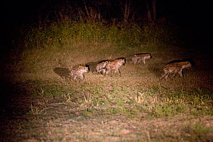 Spotted hyaena (Crocuta crocuta) group hunting at night, South Luangwa Valley, Zambia.  -  Sue Flood