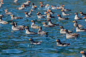 Crested auklets (Aethia cristatella) flock on sea surface on Brat Chirpoy Island in the Kuril Island chain, Russian Far East, June  -  Sue Flood