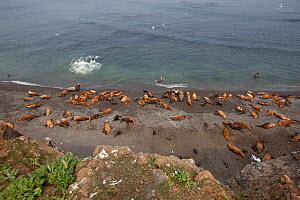 Northern fur seals (Callorhinus ursinus) looking down on breeding colony with male, female and new born pups all resting on Tyuleniy Island, Russian Far East, June.  -  Sue Flood
