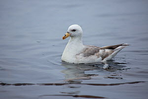 Fulmar (Fulmarus glacialis) white phase on sea surface, Skaly Lovushky, the Kuril Islands, Russia, June  -  Sue Flood