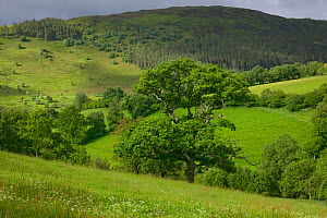 Sessile Oak (Quercus petraea) tree meadow and hilly landscape. Radnorshire Wildlife Trust Nature Reserve, Wales, UK, June.  -  David Woodfall
